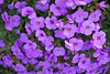 violets (sure2talk) Tags: flowers purple explore violets explorefrontpage pfogold beautifulworldchallenges vosplusbellesphotos parlourfiftyone