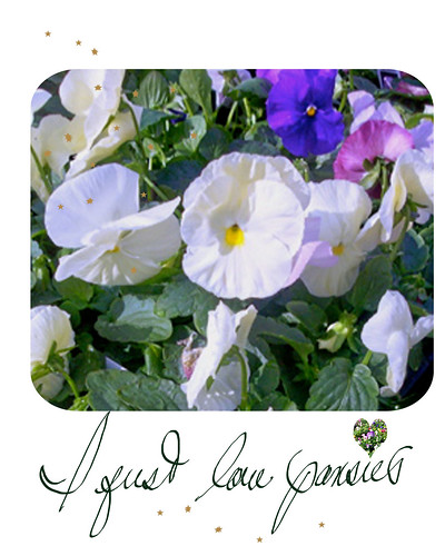 pansies-I-just-love-pansies