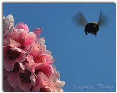 I'll BEE Right Back! (Tracey Tilson Photography) Tags: pink nature cherry march nc spring wings nikon blossom north joy flight happiness bee delight carolina bloom laughter bumble favoritethings picnik contentment hum airbourne d90