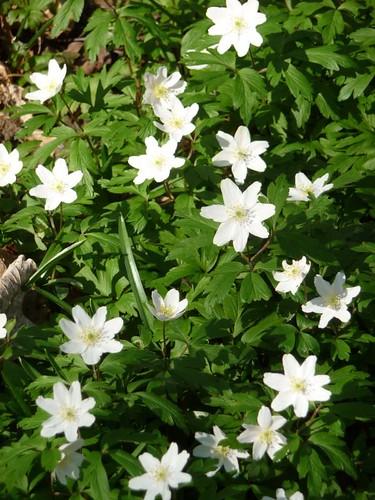 Wood anemones, Gillfield Wood