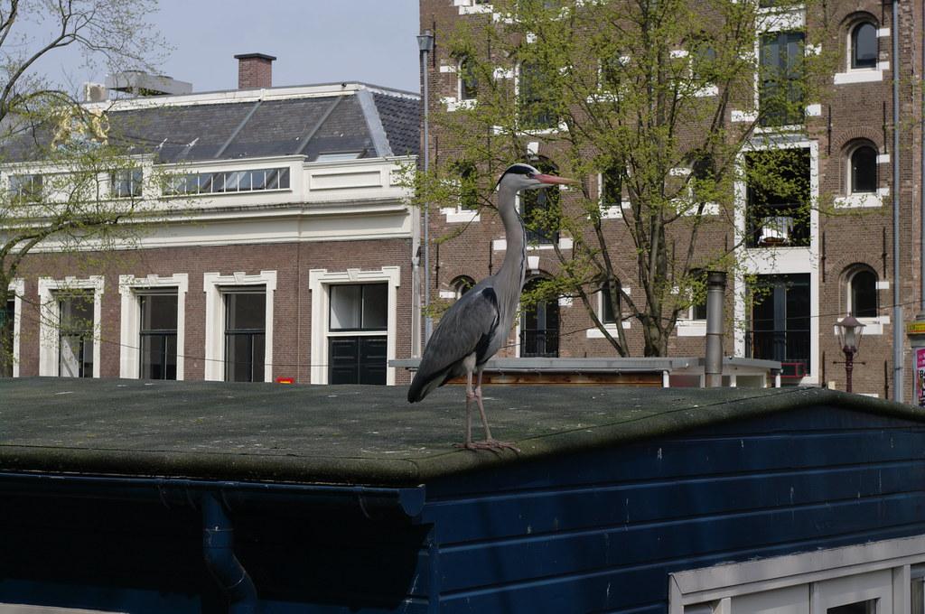 Amsterdam reiger