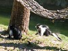 dhh bh (dmathew1) Tags: tampa florida lowryparkzoo babywhitetiger babymandrill babyorangatun babycolobusmonkey babyguenon