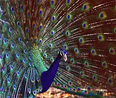 ~ Thank You My Dear Friends ~ (Peem (pattpoom)) Tags: bird nature wildlife peacock peafowl nikkor80200mmf28dedaf supershot theunforgettablepictures theperfectphotographer  kunstplatzlinternational vosplusbellesphotos