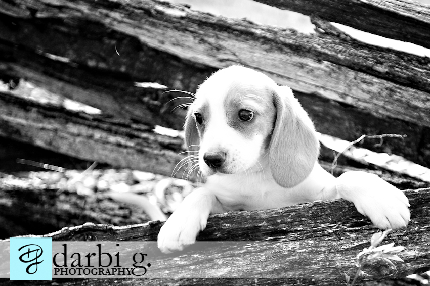 Darbi G photography-dog puppy photographer-_MG_9802-bw