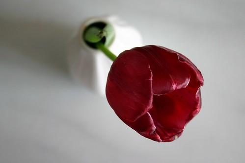 Tulip studies III