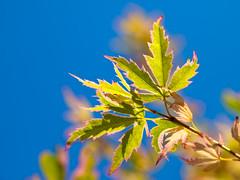 Special Species Maple (olvwu | ) Tags: 1260 acer jungpang jungpangwu oliverjpwu oliverwu spring taipei taipeicity taiwan yangmingshan backlit bokeh bud green leaf light maple newleaf olvwu red