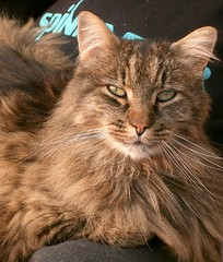 Goliath (FreyaDea) Tags: cat schweiz switzerland chat pretty suisse swiss gato katze goliath puss gatto aargau katzen kats freyadea