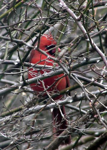 cardinal thorns2