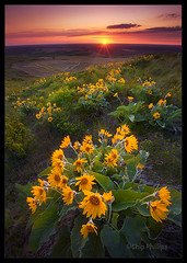 Palouse Balsam Root (Chip Phillips) Tags: sunset landscape photography butte northwest phillips chip wildflowers root inland soe balsam palouse steptoe overtheexcellence