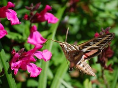 White-lined Sphinx (~ Bron ~) Tags: sphinx moth moths sphinxmoth hummingbirdmoth whitelinedsphinxmoth