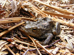 baby toad (Blackcap1000) Tags: brown eye ground toad stuff
