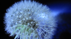 blue lights on  Taraxacum Dandelion (eagle1effi) Tags: blue macro art nature backlight favoriten flickr bestof artistic photos kunst trimmed fine selection dandelion foliage selected fotos april cropped manual edition supermacro 2009 finds myfave erwin auswahl reference beste ausschnitt lightart damncool taraxacum f35 lwenzahn pusteblume nolimits dentdelion whitebalancecustom iso125 selektion canonmacro 2mb effinger lieblingsbilder gewhnliche eagle1effi byeagle1effi zugeschnitten naturemasterclass ae1fave yourbestoftoday meteringmodecenterweightedaverage canonpowershotsx1is effiart exposuremodeautobracket sx1best ledlenserp7 bycamera sx1isbest isospeed125 supermacroon2 cameraisoautohigh macromodemacro aebbracketvalue1 effiartkunstcopyrightartisteagle1effi effiarteagle1effi tagesbeste