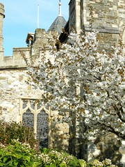 Rye Church and an apple tree