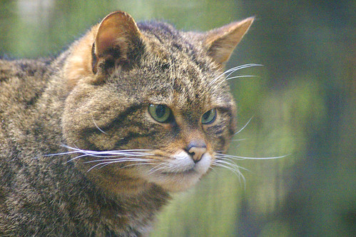 Wildcat, Highland Widlife Park