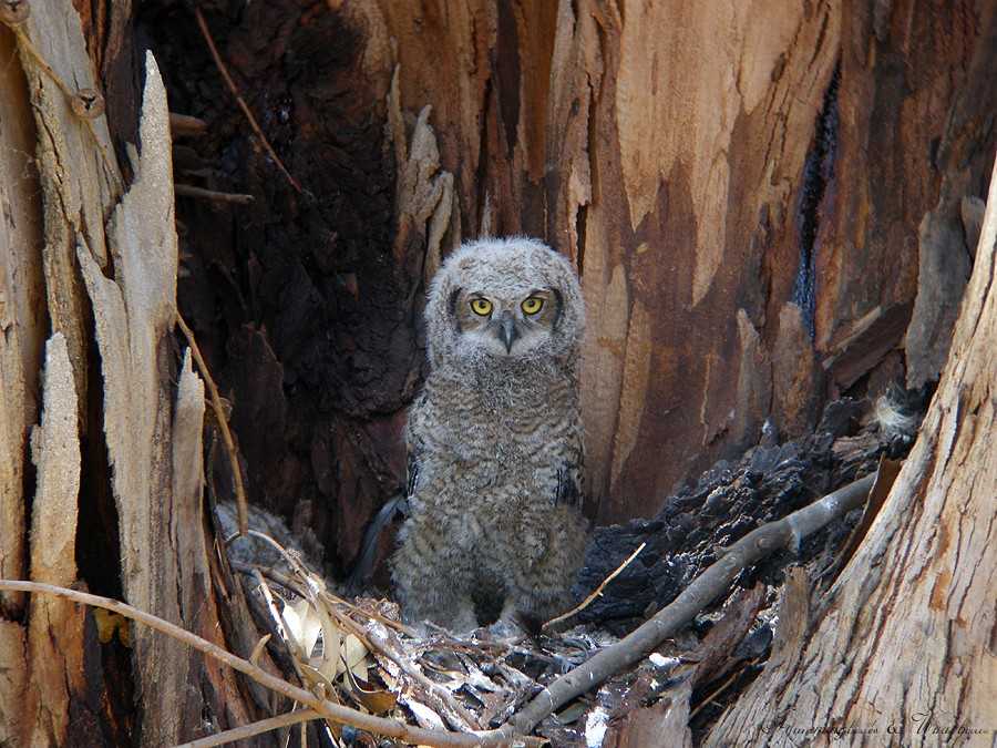 Great Horned Owl 05091-6