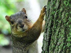 O HAI! WILL DIZ BEE ON TEH INTERNETZ? (christiaan_25) Tags: tree leaves closeup mammal nose eyes furry squirrel whiskers explore bark staring claws 128 mortonarboretum toehold nikond90 lolsquirrel rickspixtop50 1stplacef2fchallenge 花草人物風景 springpictureaday 28may2009 photocontesttnc09 middaymagic