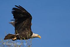 May 21 09 017g (Dbltake) Tags: bald moncton eagles
