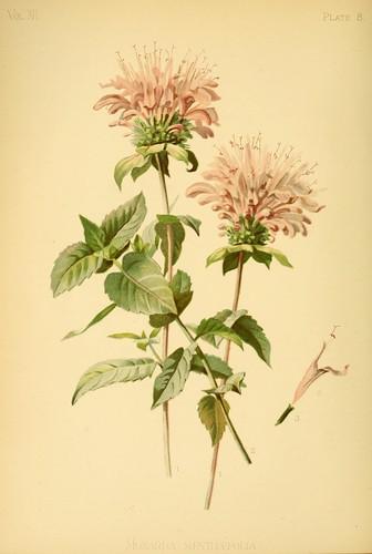 Mint-Scented Bergamot