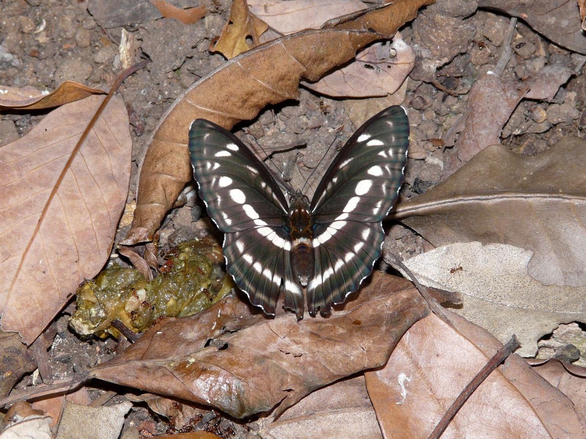 Clear Sailer (Neptis nata lutatia) - 台灣三線蝶