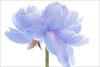 EXPLORED! Flower / blue flower / Natural light / nature / flower / blue / Peony (Bahman Farzad) Tags: blue flower color macro nature beautiful peony highkey blueflower hikey bluecolor flowermacro flowerblue blueflowermacro