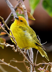 Canrio-da-terra - (Saffron finch) - (Sicalis flaveola) (claudio.marcio2) Tags: bird nature wildlife natureza pssaro aves birdwatching soe oiseaux wonderfulnature blueribbonwinner thegoldengallery supershot wingedwonders natureplus mywinners worldbest shieldofexcellence anawesomeshot impressedbeauty nationalgeographicareyougoodenough photosandcalendar birdsphotos farandawaythebest citritgroup freenature prettynaturephotos photostosmileabout eperkeaward brilliant~eye~jewels naturewatcher concordians theworldsbestnaturewildlifeandmacrophotography everydayissunday theperfectphotographer natureislovely dragongoldaward photossansfrontires flickrsexquisiteshots spiritofphotography atravsdaminhalentethroughmylens damniwishidtakenthat allthosebirds worldnaturewildlifecloseup planetaterraeseusanimaisincrveis photographersgonewild thewonderfulworldofbirds naturegreenstar naturescreations ~newenvyofflickr~ dragonflyawardsgroup