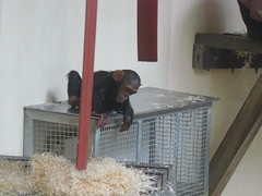 Chimps at Monkey World (textlad) Tags: dorset monkeyworld wareham monkeyworldaperescuecentre