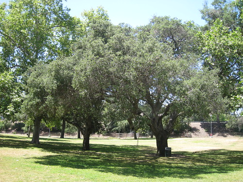 coast live oaks
