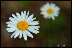 Flowers in May (lynn roebuck photography) Tags: flowers white texture tennessee may daisy wildflowers forb oxeyedaisy leucanthemumvulgare bedfordcounty twofers tennesseewildflowers