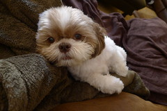 My baby girl, Chloe (gix2lee) Tags: dog chien shihtzu chloe liondog brownandwhitedog brownandwhiteshihtzu chrysanthemumdog chloepatralee liverandwhiteshihtzu liverandwhitedog