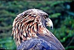 Juvenile Bald-Headed Eagle (Sandeep SK) Tags: california travel usa nature birds america canon photography zoo san francisco eagle sfo wildlife north baldeagle powershot juvenile haliaeetusleucocephalus otw bej baldheadedeagle sandeepsk sx210is