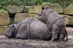 2009-03-02-10h03m12.IMG_5517l (A.J. Haverkamp) Tags: zoo rotterdam blijdorp dierentuin bertus diergaardeblijdorp indischeneushoorn canonef70200mmf28lisusmlens greatindianrhinoceros httpwwwdiergaardeblijdorpnl