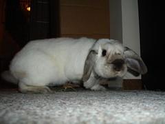 Moko (Anomieus) Tags: pet cute rabbit bunny bunnies animal furry dwarf conejo ears rabbits paws coney coelho lapin himalayan kaninchen houserabbit coniglio lop sealpoint cottontail cony lopeared  leporidae leporid