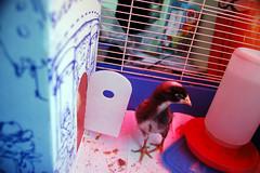 chook cage interior doorside