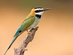 White-throated Bee-eater (Wild Dogger) Tags: africa travel nature birds animals tiere wildlife urlaub natur safari afrika vgel samburu 2009 kenia beeeater ostafrika naturesfinest bienenfresser meropidae outstandingshots meropsalbicollis anawesomeshot whitethroatedbeeeater vosplusbellesphotos thomasretterath weiskehlspint