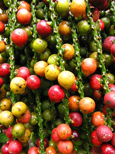 nature seeds colors red yellow green balls coconuts texture fruits