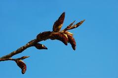 Spring is in the air I (Sallin) Tags: nature leaves spring belgium belgie natuur lente knoppen testelt d80