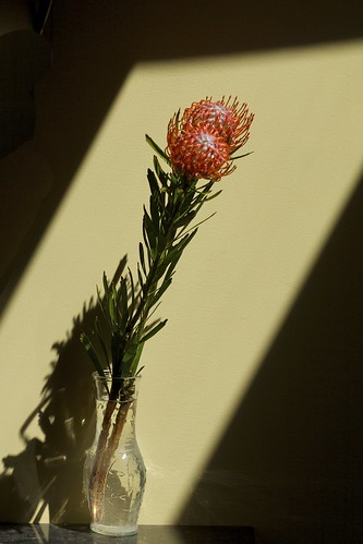 Red Pincushion Protea (Leucospermum cordifolium) Full Stem in Vase