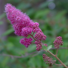 Billiard spirea (Rosaceae) (Pat's Pics36) Tags: pink flower sonydscf707 potofgold rosaceae goldstaraward billiardspirea