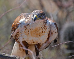 perching ferruginous hawk (wplynn) Tags: arizona birds desert hawk sonoran ferruginous