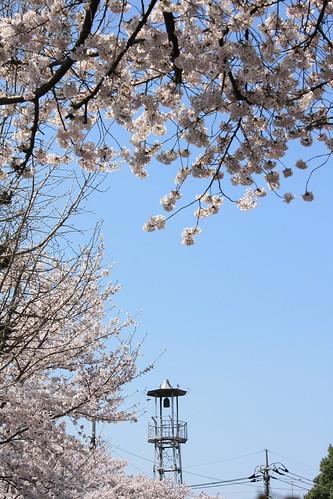 城の火の見櫓:桜