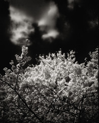 In the Forest, Under Cherries in Full Bloom (TommyOshima) Tags: life monochrome japan cherry death takumar hc110 infrared cherryblossom 6x7 90mm smc f28 hanami redfilter r64 selfdeveloped efke bwdreams pentax67ii ir820 motojirokajii angosakaguchi
