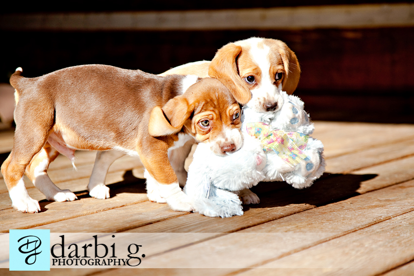 Darbi G photography-dog puppy photographer-_MG_1194-Edit