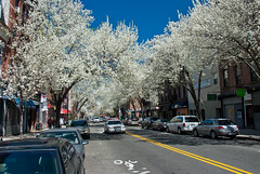 Pear Tree Lined Fifth Avenue, Brooklyn (Finstr) Tags: brooklyn spring blossoms 5thavenue parkslope blusky floweringtrees eastersunday bradfordpears peartrees callerypear