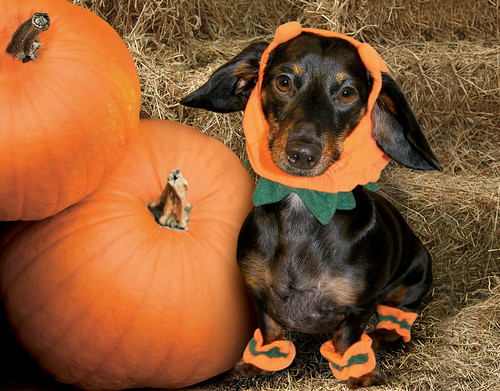 "Chiquita, Miss October 2009  ""Rescue Dachshund"""