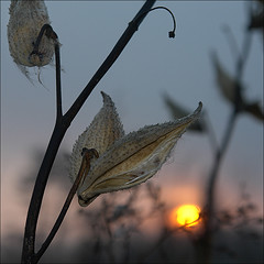 MBS -- Milkweed Bokeh Sunrise (NaPix -- (Time out)) Tags: life morning sun plant canada macro sol maana nature sunrise canon hope dawn soleil pretty poetry glow image quebec bokeh canoneos20d explore growth amanecer milkweed laurentide masterpiece strobe hmb  stsauveur explored hbw  laurention napix hbwe canon430exiispeedlite itwascoldthatmorning checkthesunsunriseandsunsetsset