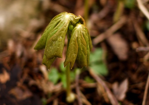 Mayapple With Bud