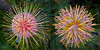 Proteas Diptych