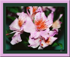 FREE THE FREESIA! (fantartsy JJ *2013 year of LOVE!*) Tags: pink flowers friends love nature floral beauty bouquet topgun boken fresia simplythebest fantasticflower frameit diamondclassphotographer floralcreations theboldflower theperfectphotographer dragondagger thesuperbmasterpiece wonderfulworldofflowers theperfectpinkdiamond passionateinspirations thecelebrationoflife secretenchantedgardens lizasenchantedgarden holycreationsofnature daarklands