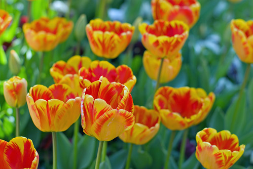 yellow-red tulips, istanbul tulip festival, istanbul, istanbul lale festivali 2009, pentax k10d