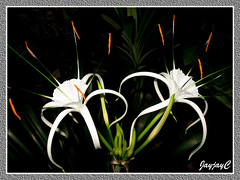 Hymenocallis caribaea (Caribbean Spiderlily, White Lily, Spider Lily) with 1st set of flowers in our garden, April 22 2009